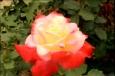 розы картинки красивые