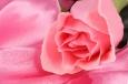 открытки розы бесплатные
