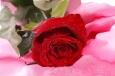 открытки с розами